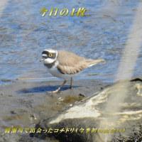 綾瀬川で今季初のコチドリと出会った