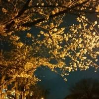 夜桜ランってばさ