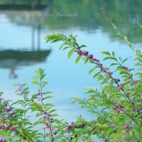 ムラサキシキブ:岡山後楽園