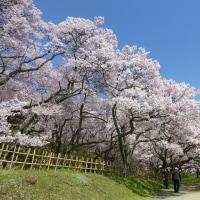 高遠こひがん桜
