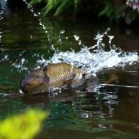 暑さも吹き飛ぶ豪快な鯉のジャンプ