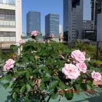 バラの名は、桜貝