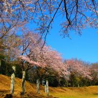 『大磯の桜』 神揃山