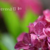 黒猫の庭~紫陽花