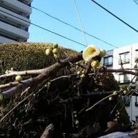職場の庭の梅が一輪「咲いた~」