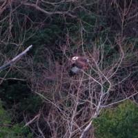 自然観察会【ドキドキ講座】続編 ミサゴの狩りの様子