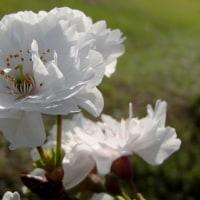 さくら便り2016:二季咲き性のサクラ・・・