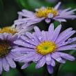 170628/0707_芹沢-3 <向日葵/紫苑 ?>