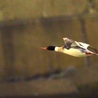 2017 銚子のカモメ・カモ・海鳥観察会記録 ウミアイサの飛翔
