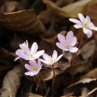 花の詩「雪割草」