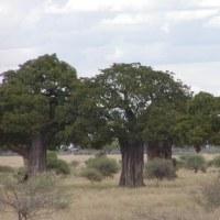 バオバブの森へ(タンザニア)③