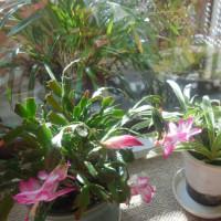 シャコバサボテンが咲きました