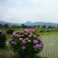 開成町の紫陽花祭り