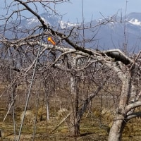 リンゴの枝が下に伸びる@長年の謎が解けた