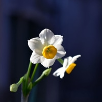 スイセンの花があちらこちらで咲き始めましたね。 (Photo No.13868)