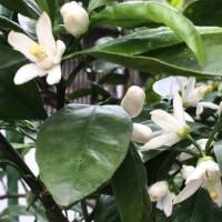 温州ミカンの花