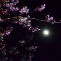 河津桜と月