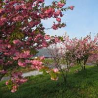 満開  八重桜「紅華」