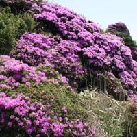 「おはようの花」 ミヤマキリシマ(深山霧島) 6月