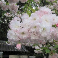 🌼八重桜と白蓮華🌼