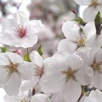 ミニミニ花見(東大阪)