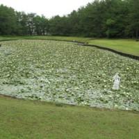御池のスイレン