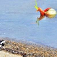 セキレイさんが川の畔を歩いていると どんぶらこ どんぶらこ とタマネギさんが流れてきました……<都志川にて>