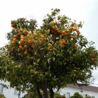 ポルトガルの街中には橙がいっぱい (2017年2月11日撮影)