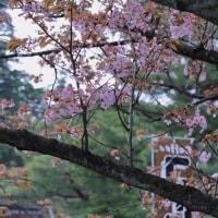 ●兼六園 遅咲きの桜 関山 旭桜 塩釜桜 唐崎松 十月桜  冬桜