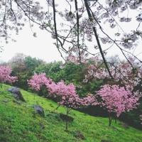 4/9 紫雲出山  桜  霧の中