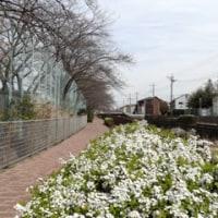 程久保川の桜