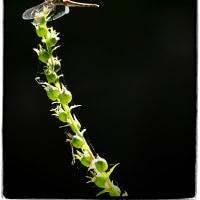 赤塚植物園のトンボ
