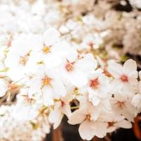 桜が咲き始めました~!