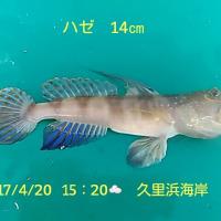 笑転爺の釣行記 4月20日☁ 長瀬・久里浜