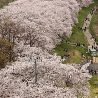 花祭りも終えて2回目の卯月月曜日、桜はまだ大丈夫見られそう