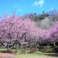 相模川自然の村公園の河津桜