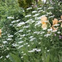 オルラヤ、ハマナス白花、丁子草、リクニス