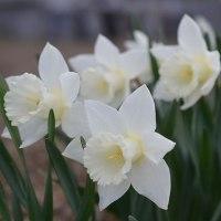 今年も水仙が綺麗に咲きました・・・