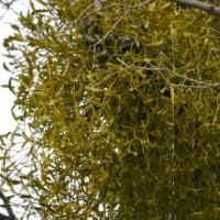 糞から生まれた枝