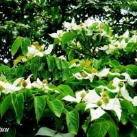 相模原麻溝公園に白い「ヤマボウシ」咲いている!!