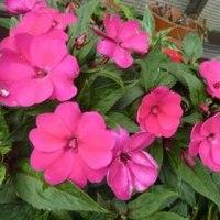 ジジイ川柳・ババア川柳の本とツワブキの花