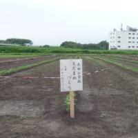 枝豆づくり・・・・・太田小地区コミュニテイ協議会