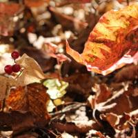 枯れ葉とマイヅルソウの実
