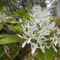 「なんじゃもんじゃ」の白い花