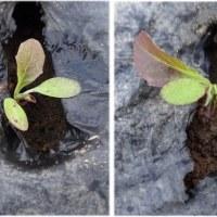 サラダ系野菜の定植