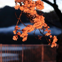 宮ケ瀬の桜