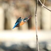 近所の池・・・今日のカワセミ! メス三羽で・・・
