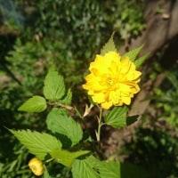 北庭のヤマブキが咲きました