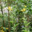 ギボウシの花と更なる真夏の宿根草