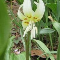 カタクリの花「ホワイトビューティー」